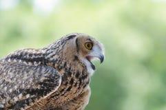Owl Closeup Foto de archivo