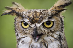 Owl closeup. Great for themes of birds, wildlife, nature, wisdom, backgrounds Stock Image