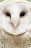 Owl Closeup extremo Foto de archivo libre de regalías
