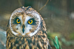 Owl Closeup Face à oreilles courtes Photo libre de droits