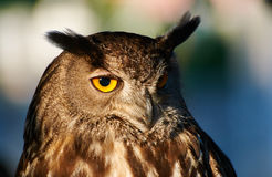Owl. Closeup of a Royal owl side lit by the sun Royalty Free Stock Photos