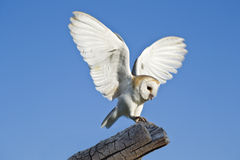 Owl. Common barn owl on perch Royalty Free Stock Photo