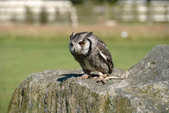 Owl in Cornwall Royalty Free Stock Images