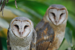 Owl couple Royalty Free Stock Photos