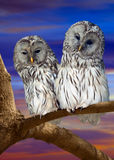 Owl couple against sunset sky Stock Photos