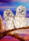 Owl couple against sunset sky Stock Photos