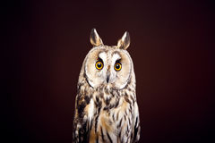 Owl on dark background Stock Photography