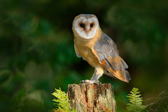 Owl in the dark forest. Barn owl, Tito alba, nice bird sitting on stone fence in forest cemetery with green fern, nice blurred lig Royalty Free Stock Photos