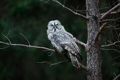 Owl in dark forest, Sweden. Great grey owl, Strix nebulosa, sitting on broken down tree stump with green forest in background. Wil Royalty Free Stock Photography