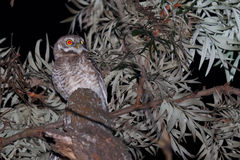 Owl in the darkness Stock Image