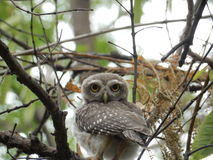 Owl. 180 degree turn Royalty Free Stock Images