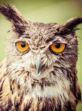 Owl Royalty Free Stock Photos