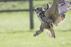 Owl distracted from catching prey Royalty Free Stock Images