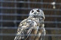 Owl eagle Royalty Free Stock Photo