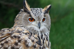 Owl. Eagle owl in the nature reserve of Galichya Gora Stock Image