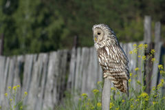 Owl/An eagle owl. Owl on a summer evening sitting on a stick Stock Image
