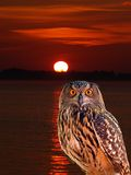 An owl at an early morning Royalty Free Stock Image