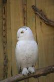 Owl eat meat predatory forest bird russia siberia Russian Federation. Owl eat meat predatory bird russia siberia Russian Federation royalty free stock photos