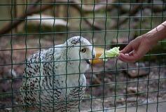 Owl eat meat predatory forest bird russia siberia Russian Federation. Owl eat meat predatory bird russia siberia Russian Federation stock images