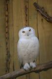 Owl eat meat predatory forest bird russia siberia Russian Federation. Owl eat meat predatory bird russia siberia Russian Federation stock photos