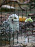 Owl eat meat predatory forest bird russia siberia Russian Federation. Owl eat meat predatory bird russia siberia Russian Federation stock photography