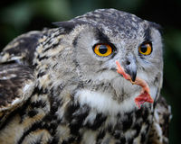 Owl Eating Lizenzfreie Stockfotografie
