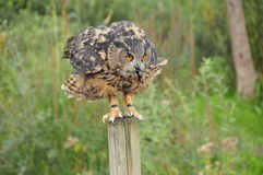 Owl eating a mouse royalty free stock photos