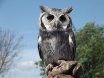 Owl On en handske Arkivfoto