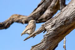 Owl on the end of tree branch stock image