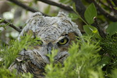 Owl endangered. Endangered species Owl in wild Royalty Free Stock Images