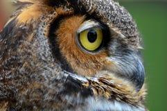 Owl Eye Fotografering för Bildbyråer