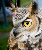 Owl Eye Fotografia Stock