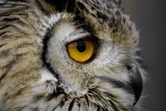 Owl eye. Close up of a owls eye Stock Photos