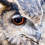 Owl Eye Royaltyfria Foton