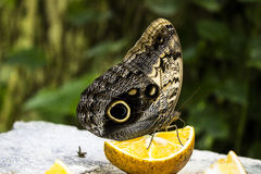 Owl eye Butterfly Stock Image