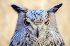 Owl eye detail close up macro Stock Photos