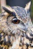 Owl Eye und Ohren Stockbilder