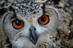 Owl eyes. Eagle owl eyes glowing orange angry Stock Images