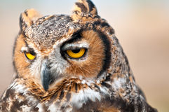 Owl eyes Stock Photography