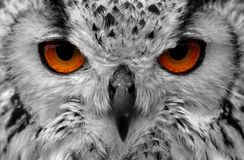 Owl eyes. Close up of an owls eyes Royalty Free Stock Photo
