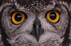 Owl Eyes Imagem de Stock Royalty Free
