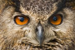 Owl eyes. The great orange eyes of the eagle owl Stock Photos