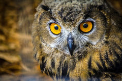 Owl Eyes stock foto