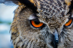 Owl Eyes - Bird of Prey Royalty Free Stock Photos