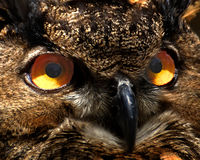 Owl Eyes. A close-up portrait of an Great Horned owl shot at Animal Kingdom, Disney World Stock Photography