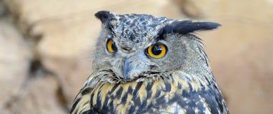 Owl eyes panorama. Owl eyes, portarit in captivity stock images