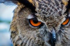 Owl Eyes - pássaro de rapina Fotos de Stock Royalty Free