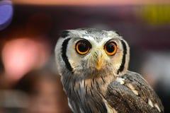 Owl Eyes Ugglastående i zoo Royaltyfri Fotografi