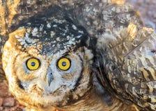 Owl Eyes royaltyfri bild