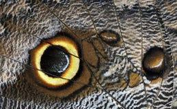owl för beltraofjärilscaligo arkivbild